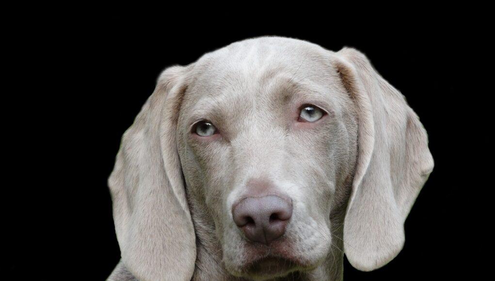 Dog Weimaraner Pet Canine Portrait Head Dog Head